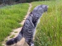縦に伸びる猫の第二形態。大型猫、サイベリアンの二足立ちスタイルがかっこいい