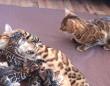 ベンガルキャットの「ばぁばですよ、はじめまして!」愛娘が産んだ孫たちと初めて対面するおばあちゃん猫