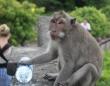 人間から高額な所持品を奪い、価値に見合った餌をくれるまで返さない高度な知恵を持つバリ島の猿