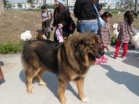 中国では、市街地でも大型犬がリードなしで歩いている(イメージ画像です)