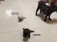 各者一斉にスタート!?床の上をパタパタ滑りながら進む子犬たち