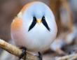 なんというインテリジェント・デザイン!立派なヒゲをはやしたように見える鳥「ヒゲガラ」