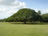 日立の樹(「Wikipedia」より)