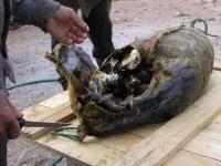 アザラシの腹の中に海鳥をたっぷり詰めて熟成発酵。イヌイットの貴重な保存食「キビヤック」
