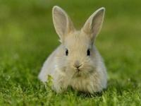 ウサギが羊の背中に乗って洪水を逃れる荒業を披露!