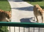 「会いたかった!」育ての母に会ったライオンの無邪気な甘えようがかわいい