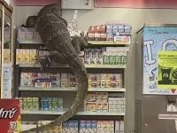 二度見どころの騒ぎじゃない!?コンビニ行ったら巨大オオトカゲが来店していた件。(タイ)