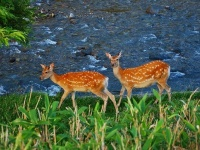 北海道に生息するエゾシカ(「Wikipedia」より)