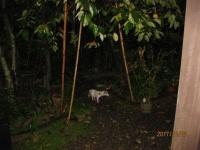 庭に現れた「白いタヌキ」(以下、永松逸生さん提供)
