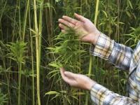 「嗜好用大麻」と「産業用大麻」の違いは?(depositphotos.com)