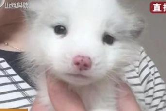 ペットショップで日本スピッツの子犬を購入したところ、しばらくたってキツネであることが判明(中国)
