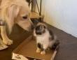 孤児となった子猫たちをやさしくお世話するゴールデンレトリバーのポピーさん