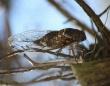 タチの悪い性病のごとくセミに感染し、次々とゾンビ化させる幻覚性菌類(米研究)