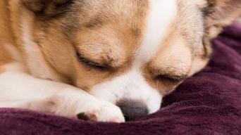犬が寝る前にくるくる回る2つの理由【犬ライフハック】