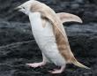 アルビノみたいな全身白っぽいペンギンが発見される(南極)