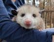 大きなネズミのようでもあり猫のようでもある。孤児となり、人間に保護されたオポッサムが甘えん坊でキュート