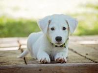 子犬は生まれつき人間とコミュニケーションできる能力を持っている(米研究)