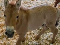 絶滅危惧種の馬「モウコノウマ」のクローンが誕生。40年前に冷凍保存した遺伝子サンプルから現代に蘇る(アメリカ)