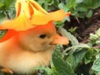 アヒルのヒナにお花の帽子をかぶせたらば。悲しい気分のあなたはこの動画で癒しをもらおう