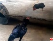 むっ、怪しいニワトリ発見!ステンレスに映った自分自身とにケンカを売る雄鶏