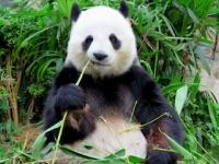 人間とパンダの食の進化は真逆?(depositphotos.com)