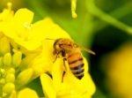 東京都・恵比寿にミツバチ大量発生その数なんと1万匹!