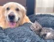 子猫にベッドを取られちゃった!「仕方ないな、今だけだよ?」と優しくシェアするゴールデン