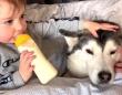 ハスキーにベッドを取られちゃった!赤ちゃんと愛犬の一緒におねむでうっとろりん