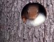 ウール100%のふわふわお布団だよ!大都会の片隅で快適な巣作りに励むリス