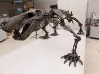 佐野市葛生化石館で展示されているイノストランケヴィアの全身骨格(撮影=安友康博/オフィス ジオパレオント)