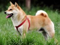 柴犬(「Wikipedia」より)