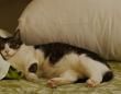 枕を占領する猫(写真/江波旬)