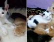子育て中の母猫の懐に忍び込み、子供のふりをした孤独な子猫、愛と幸せを手に入れる(インドネシア)