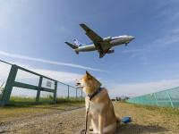 遊びも仕事も大忙し!柴犬まる、関西巡業ででっかい飛行機に出会う