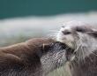 「ワイもやってみよ!」仲間の行動を見て餌の取り方を学ぶカワウソ(英研究)