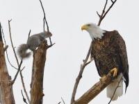 一触即発!リスとハクトウワシが近距離で見つめあうその瞬間を激写!(アメリカ)