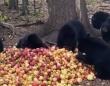 孤児になった子熊たちが大量のりんごを目の前に、猫のゴロゴロのような音をだす