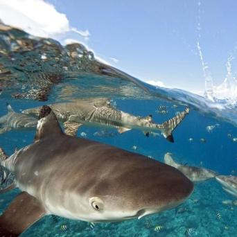 クジラが生物学者をサメから守る!