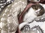 飼い主さんのお布団を独り占め!ウトウト眠りに落ちてゆく子猫の様子が可愛すぎる