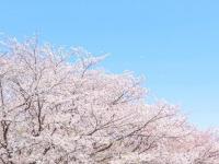 あなたにとって、桜ソングといえば?